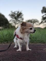 ピノ2018-09-18 05.49.52 (やんちゃなちわわ) Tags: ピノ pino 犬 dog チワワ chihuahua