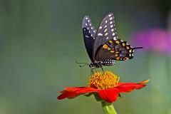 black swallowtail (G_Anderson) Tags: butterfly flowers wildflowers garden urban