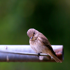 Spotted flycatcher (Jaedde & Sis) Tags: gråfluesnapper spotted flycatcher muscicapastriata perched dryingrack dof square weekly weeklythemechallengewinner thechallengefactory challengegamewinner storybookwinner