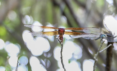 Floyd Lamb Park-2913 (smiller_rrc) Tags: dragonfly insects