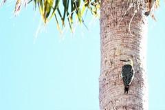 Pájaro carpintero cheje (marcollamas) Tags: goldenfronted woodpecker pájaro carpintero cheje melanerpes aurifrons guanajuato san miguel de allende méxico marco negrete