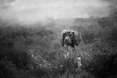 Alert Gundog (aveyardphotography) Tags: bramble english springer spaniel gundog alert aware mono monochrome black white texture moors looking double exposure noise