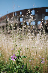 when in rome, part five (manyfires) Tags: italy europe travel vacation rome city cityscape film analog summer bokeh flower grass colosseum coliseum colosseo amphitheatre