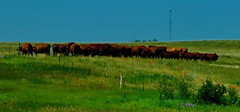 North Dakota - A Cowventum - 2018-07-17 (Ric on the road) Tags: cow cows beef conventum