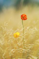 (Luminous☆West) Tags: sigma sd sdq sdqh quattro h sdquattroh foveon 85mm f14 14 dg art flower luminouswest luminous west poppies sdqh2335