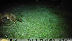 Small Coyote (blazer8696) Tags: 2018 animalia brookfield clatrans ct canidae caniformia canis carnivora chordata connecticut coyote ecw mammalia obtusehill stickcorner t2018 usa unitedstates imag6117