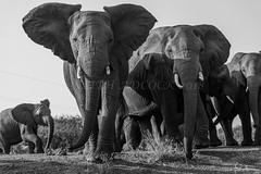 KRA_0742 (143latorre) Tags: 2018 africa birds buffalo calvinnightshoot cheetah crocadile elephant giraffe hippopotamus leopard lions rhinoceros stars warthogs wilddogs zebra