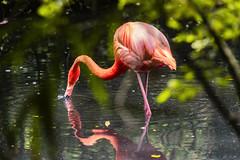 PESCANDO NEI RIFLESSI    ----    FISHING IN REFLECTIONS (Ezio Donati is ) Tags: uccelli birds animali animals acqua water alberi trees riflessi reflections natura nature colori colors italia parcodelticino provinciadipavia