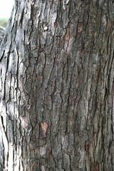 Ironwood bark - Kew (stephenmid) Tags: kew royalbotanicgardenskew
