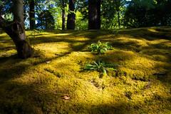 Early Morning Moss (-Dons) Tags: oregon portland unitedstates or usa portlandjapanesegarden moss fern light shadow tree
