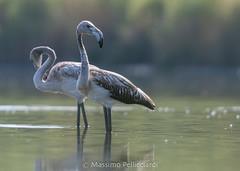 Fenicotteri opposti (Massimo Tiga Pellicciardi) Tags: fenicottero fenicotteri flamingos alba sunset valli di comacchio boscoforte delta del po acqua rosa water sguardi incrociato opposti