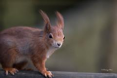 Red Squirrel-Sciurus vulgaris. (PANDOOZY PHOTOS) Tags: redsquirrel sciurusvulgaris uk rodent wildlife nature portriat closeup eurasian omnivorous mammal animal pest cute