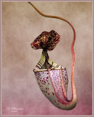 The Beauty Of A Pitcher Plant (ulli_p) Tags: asia art artofimages aworkofart colours carnivorousplant flickraward nature plants southeastasia texture textured texturedphoto