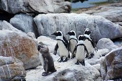suivez le guide!!  South Africa_6752 (ichauvel) Tags: penguin manchots animaux afriquedusud southafrica afrique africa boulders beach capetown régionducap voyage travel étéaustral getty