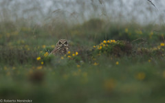 Lechuza campestre,short eared owl(asio flammeus) (robertonatura) Tags: lechuzacampestre shortearedowl owls asioflammeus birding nikon wildlife wildnature noalacaza