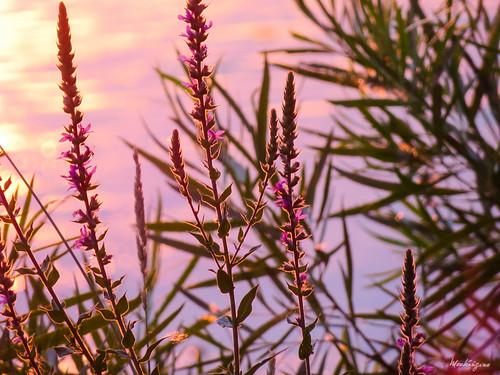 Purple Loosestrife - Salicaire commune