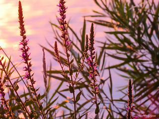 Purple Loosestrife - Salicaire commune