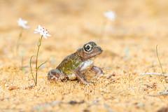 Humming Frog (Neobatrachus pelobatoides) (BenParkhurst) Tags: pastoral sand hummingfrog flowers benparkhurst frog midwestwa animal eurardy wa wurmbea westernaustralia reserve neobatrachuspelobatoides amphibian 2018 green eurardyreserve conservation australia fauna