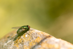 Sunny Green Bottle (oandrews) Tags: canon canon70d canonuk flies fly garden greenbottlefly insect insects invertebrate invertebrates luciliasericata minibeast minibeasts nature outdoors wildlife