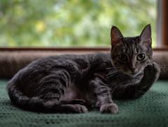 Little Miss Attitude (CMFRIESE) Tags: cat tabby portrait window low light ambient animals feline