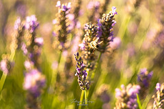 Over the flowers (fboriosi) Tags: flower flowers nikon nikond7100 halios helios44 helios442 france francia lavanda provence provenza ape nature abstract photography fabrizioboriosiphotography