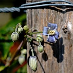Clematis heracleifolia 'Crepuscule' (dl1ydn) Tags: dl1ydn garden bokeh blüten blumen garten voigtländer ultron f250mm nature flower clematis