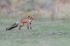 R18_2245 (ronald groenendijk) Tags: cronaldgroenendijk 2018 diereninhetwild rgflickrrg animal copyrightronaldgroenendijk fox nature natuur natuurfotografie netherlands outdoor ronaldgroenendijk vos vulpis wildlife