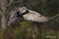 Great Horned Owl_T3W2617 (Alfred J. Lockwood Photography) Tags: alfredjlockwood nature bird greathornedowl raptor canadianraptorconservancy crc canada flight morning autumn ontario