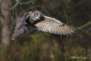 Great Horned Owl_T3W2617