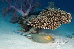 Underwater - a place in the shadow (chk.photo) Tags: nature scuba dive fish water diving tier underwater aegypt tauchen naturemasterclass animal