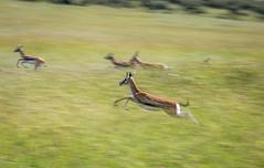No, not a hunting scene ;) (ラルフ - Ralf RKLFoto) Tags: kenia kenya masaimara narok natur safari tiere animals wildlife