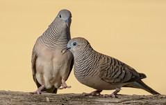 courtship #3 - peaceful doves (Fat Burns ☮ (gone bush)) Tags: peacefuldove geopeliastriata dove bird australianbird fauna australianfauna wildlife australianwildlife nikond500 nikon200500mmf56eedvr nature outdoors barcaldine queensland australia