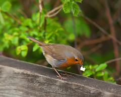 English Nature- Robin (Adam Swaine) Tags: wildlife animals birds gardenbirds britishbirds englishbirds robin robinredbreast robins naturelovers nature woodland wild canon sussex britain british rspb