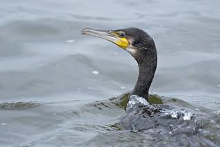 Aalscholver-Great Cormorant (Phalacrocorax carbo)