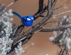 A Splendid start to today.. (Mykel46) Tags: lindley southaustralia australia au birds nature wildlife blue bokeh background outside outdoors outdoor
