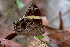 Lethe confusa - the Banded Treebrown (BugsAlive) Tags: butterfly mariposa papillon farfalla 蝴蝶 schmetterling бабочка conbướm ผีเสื้อ animal outdoor insects insect lepidoptera macro nature nymphalidae letheconfusa bandedtreebrown satyrinae wildlife chiangdaons chiangmai ผีเสื้อในประเทศไทย liveinsects thailand thailandbutterflies nikon105mm bugsalive ผีเสื้อเลอะเทอะลายแถบ