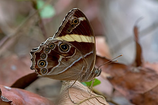 Lethe confusa - the Banded Treebrown