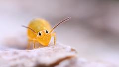 Heterosminthurus insignis (Jonas Jäschke) Tags: heterosminthurus insignis collembola springtail springschanz insect niedersachsen sony a6000 canon mpe 65mm mpe65 yongnuo yn24ex bellows zwischenringe makro tier foto weyhe nabu