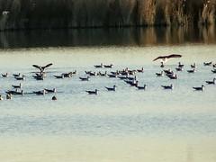 aves Parque Nacional de las Tablas de Daimiel Ciudad Real 11 (Rafael Gomez - http://micamara.es) Tags: aves parque nacional de las tablas daimiel ciudad real 11