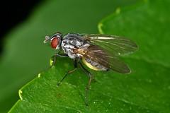Emmesomyia socia/grisea (chug14) Tags: macro insecte nature naturephotography mouche animalia arthropoda hexapoda insecta diptera brachycera anthomyiidae emmesomyia emmesomyiagrisea emmesomyiasocia