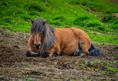 Icelandic Horse along the Golden Circle near Geysir Iceland (mbell1975) Tags: bláskógabyggð southernregion iceland is icelandic horse along golden circle near geysir island ísland horses islandpferd caballo islandés cheva 冰島馬