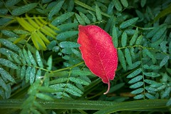 Contrast (Al Abbasi) Tags: contrast color leaf green red