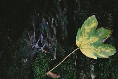 walþu I (Lukas Litz Obb) Tags: deutschland neuwied oberbieber natur nature laub herbst autumn nahaufnahme wald forest tree 32 6d canon
