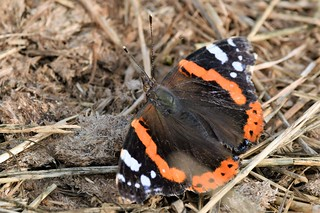 Colourful Red Admiral (Vanessa atalanta)