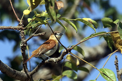 Pachyramphus rufus (mazama973) Tags: bird oiseau frenchguiana guyane guyanefrançaise tityridae pachyramphusrufus cinereousbecard becardecendrée becard blackheadedbecard