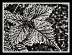 Kunstwerk der Natur (jeilmer) Tags: sw blätter struktur linien lines natur schwarzweis blackwhite schön beautiful