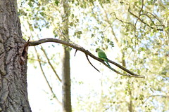 (Leela Channer) Tags: parakeet animal nature bird london england tree green