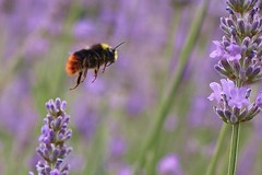 Bee flying through lavender.... (markwilkins64) Tags: purple bokeh shallowdepthoffield depthoffield dof bee flying lavender macro markwilkins