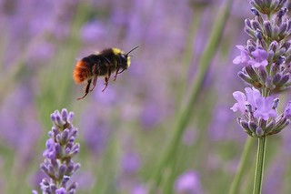 Bee flying through lavender....