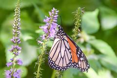 DSC_7585 (greenjay2) Tags: butterflies insects monarchdanausplexippus
